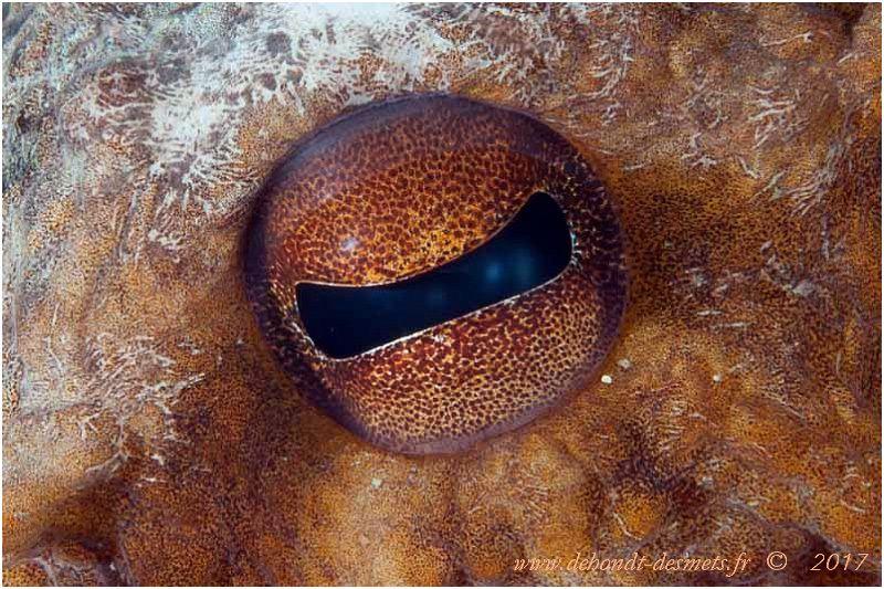 La pupille du poulpe de Méditerranée a une forme rectangulaire étrange. Son oeil est très perfectionné pour un invertébré, mais ne discerne pas les couleurs.