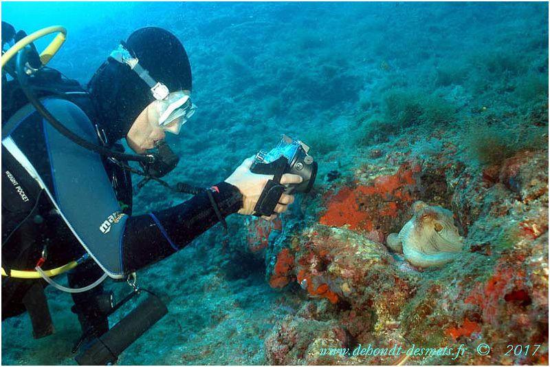 Le poulpe a mauvaise presse dans l'imagerie populaire. En réalité, c'est un animal totalement inoffensif et les plongeurs peuvent s'en approcher sans risque.