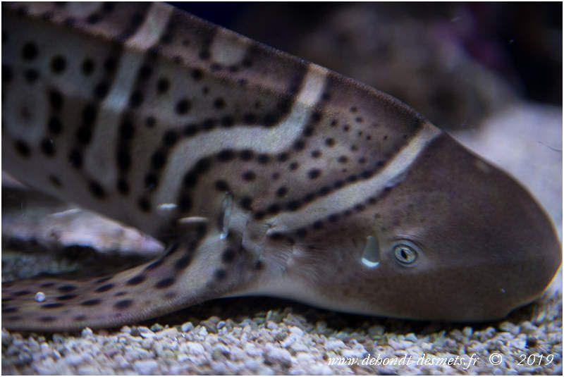 Requin zèbre juvénile Aquarium Nausicaá de Boulogne sur mer (62)