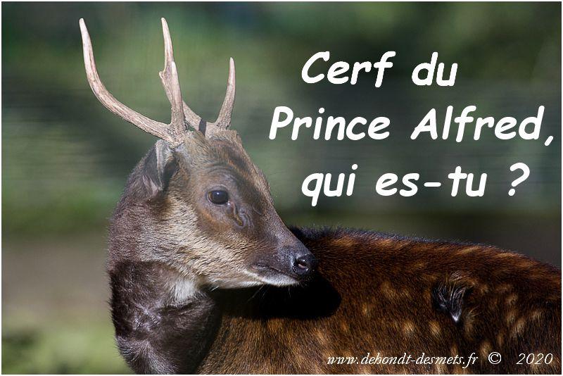 Cerf du Prince Alfred, qui es-tu ?