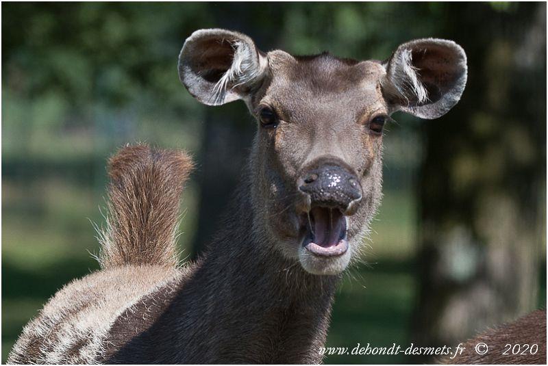 Lorsqu'il est inquiet, le cerf sambar relève la queue pour montrer la tache plus claire de son arrière-train. Il peut en même temps frapper le sol du sabot et émettre un aboiement aigu.
