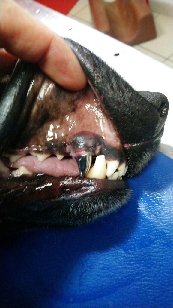 image juste après la pose et la suture du lambeau gingival