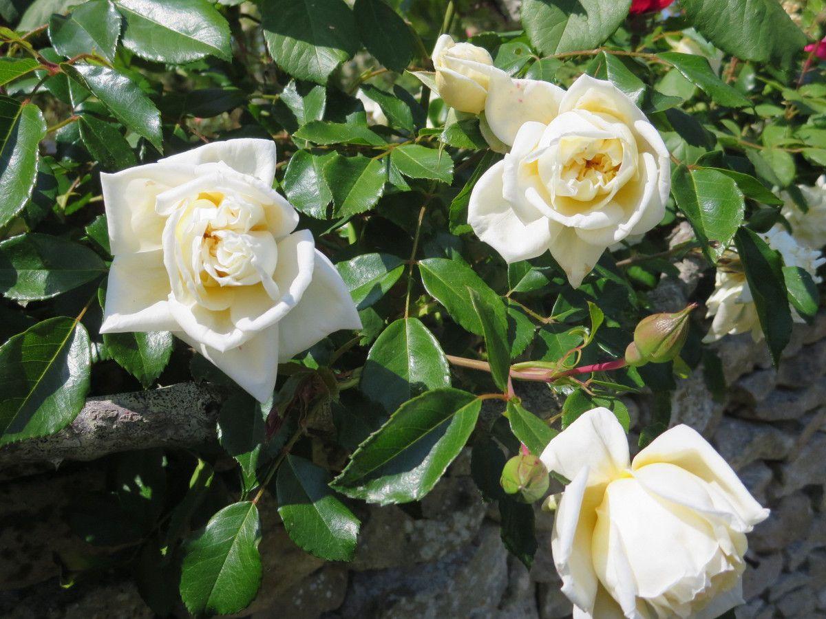 Continuons en contournant la rocaille..''.Mignonne allons voir si la rose''.............puis passons le porche