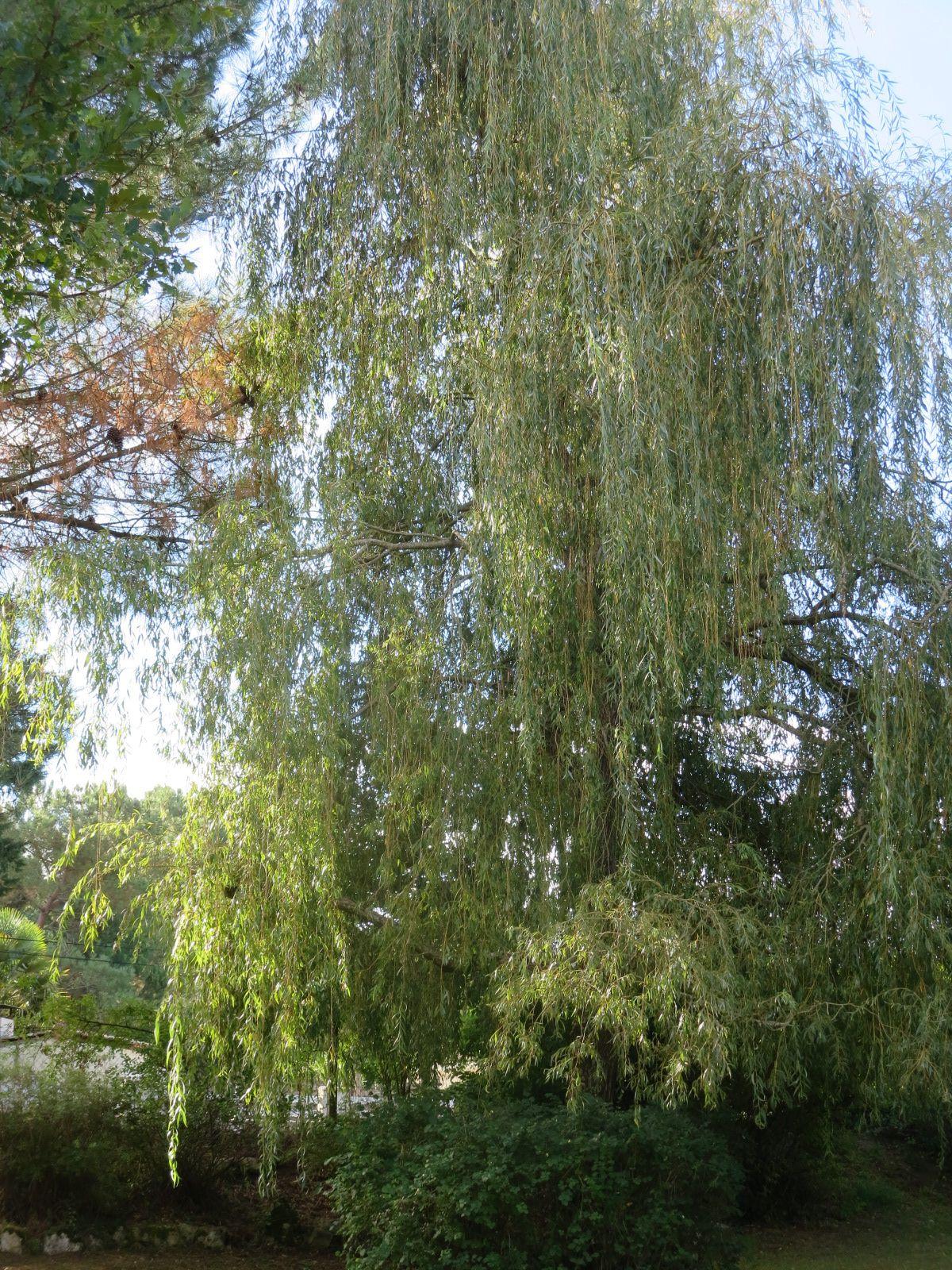 La dominance de ce jardin, ce sont les arbres... j'ai beaucoup planté quand j'ai créé ce endroit, sans trop savoir ce qu'il donnerait dans vingt ou trente ans........ je suis assez satisfaite du résultat... beaucoup me disent: tu as trop d'arbres! oui, peut-être ... mais je les aime tous et quand on aime......... Hahaha !