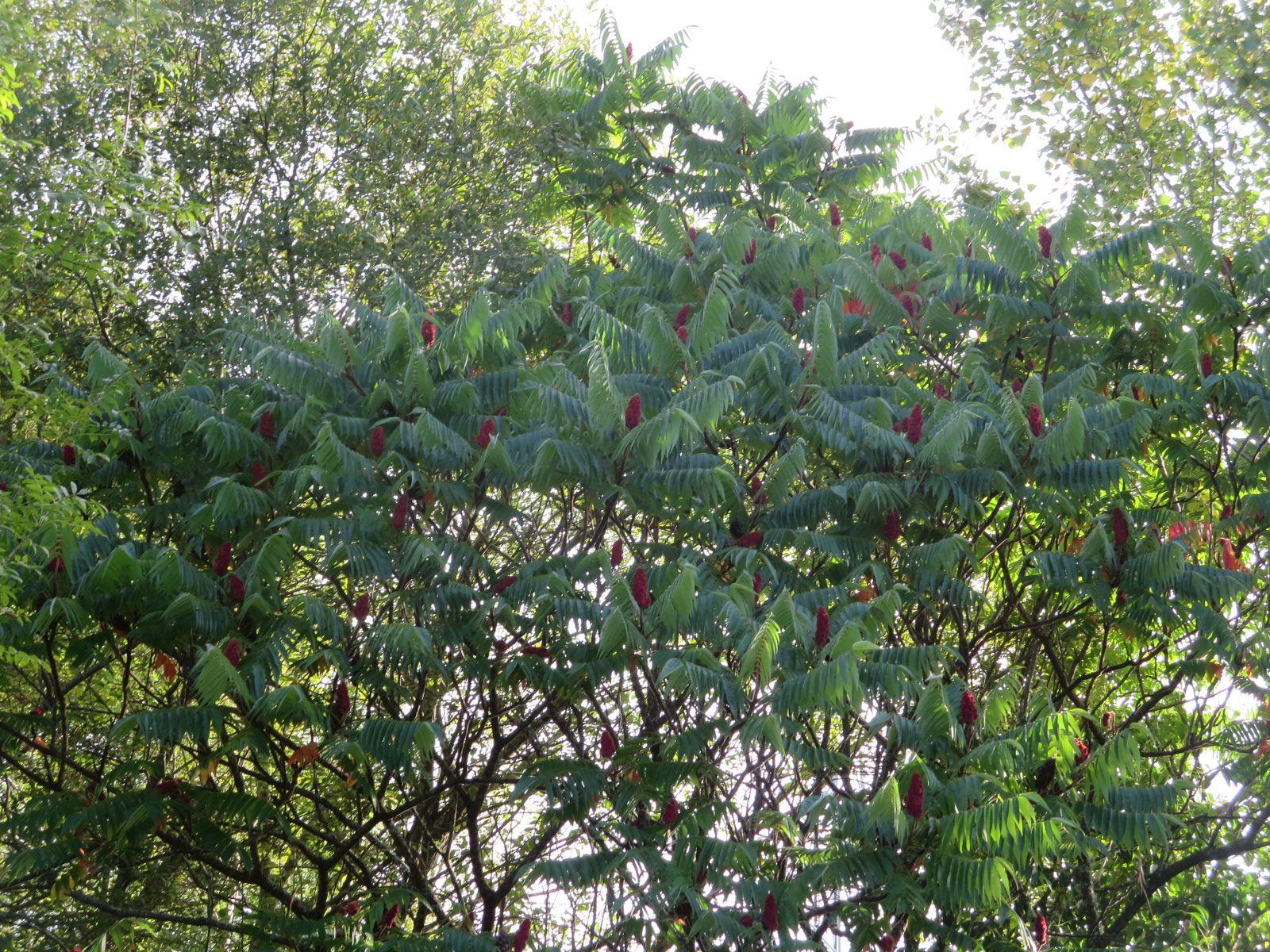 Alors que le Bignone n'a plus que quelques calices, l'Herbe des Pampas sort ses épis presque argentés et dans le même espace, les Sumacs se sont décorés de panouilles rouges en attendant les chaudes couleurs qui bientôt habilleront leur feuillage.