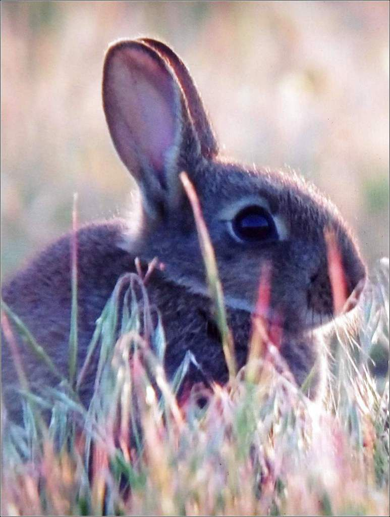 Animaux sauvages - lapin