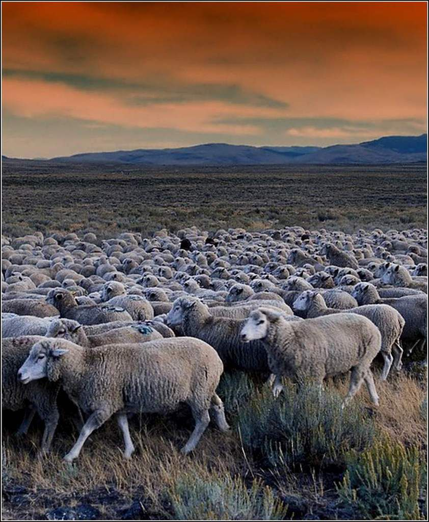 Animaux campagne - moutons