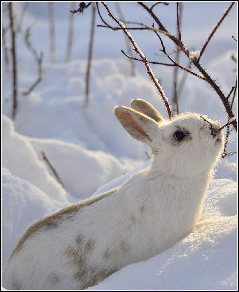 Animaux sauvages - lapin des neiges