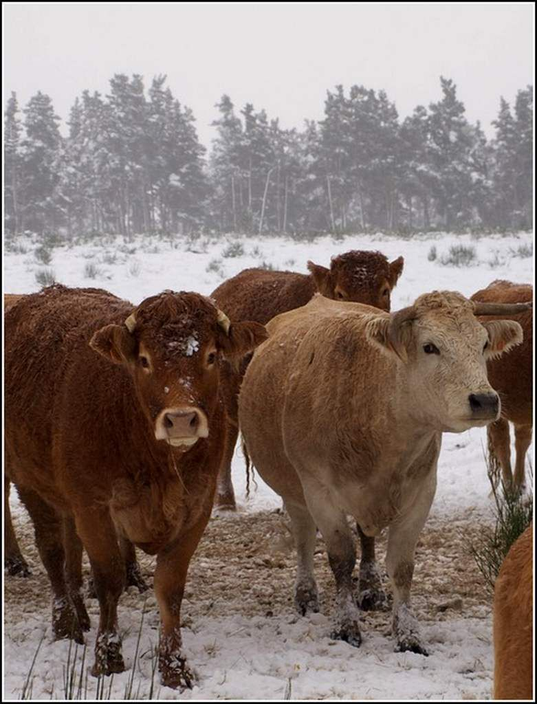 Animaux campagne - vaches