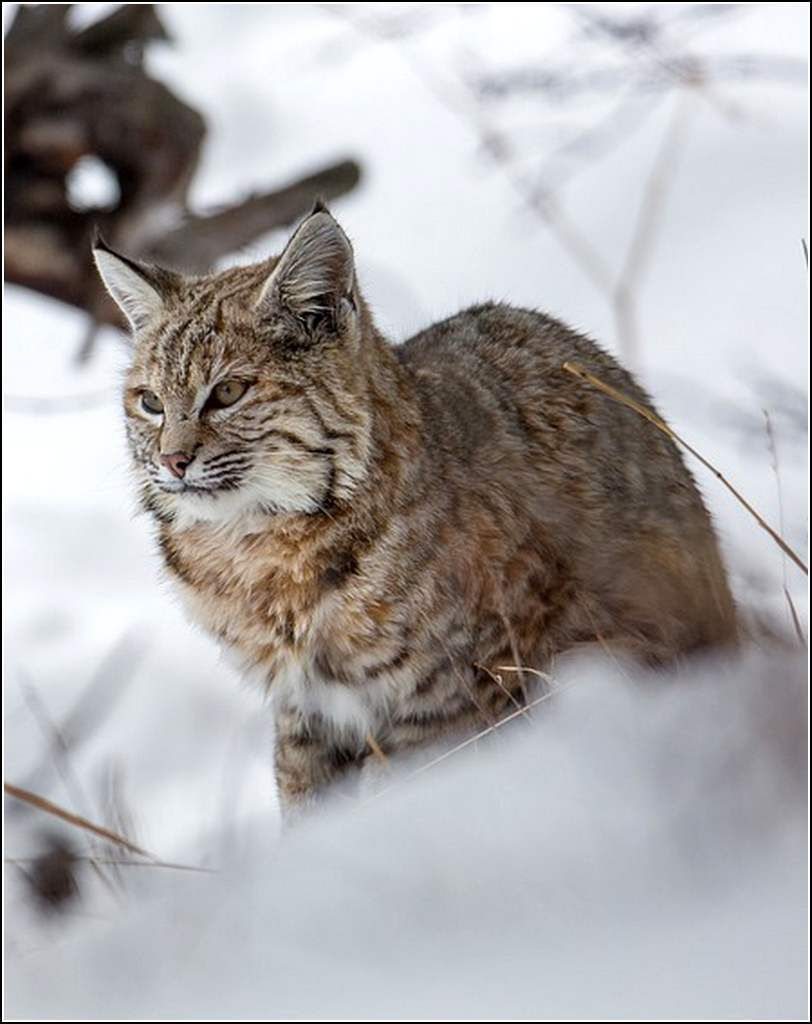 Animaux sauvages - lynx