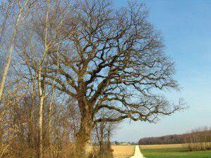 Le gros chêne «sessile ou rouvre» de plus de 250 ans