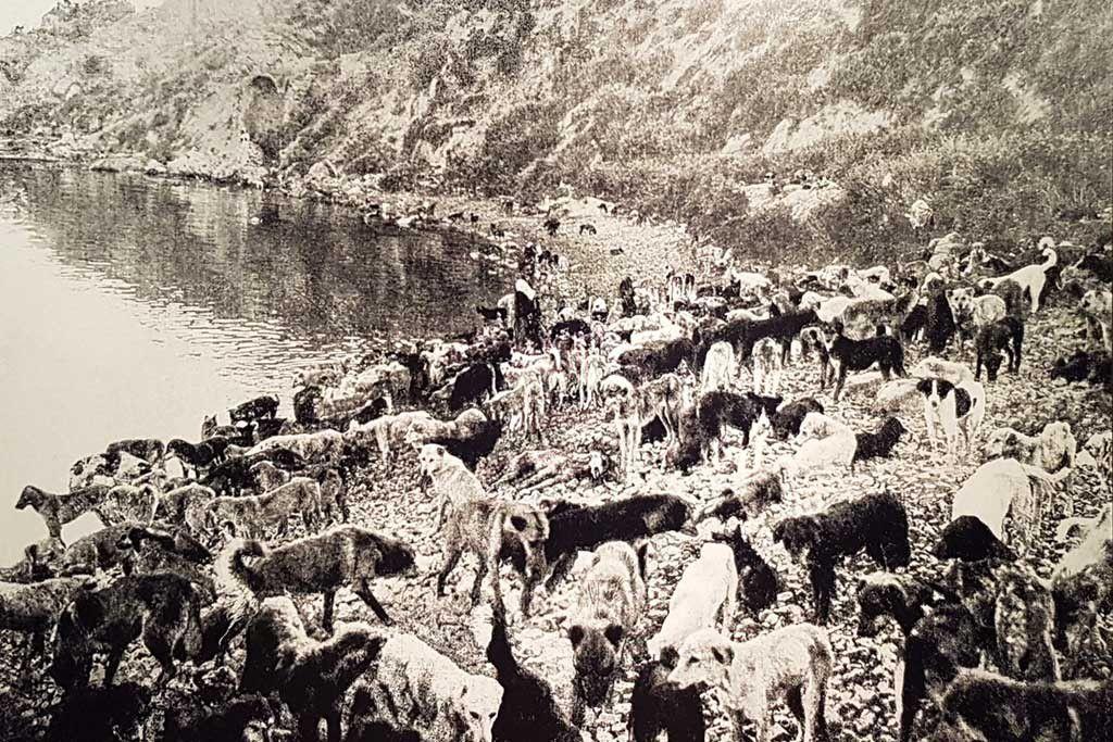 Chiens déportés en 1910 sur l'île de Sivriada - photo de Jean Weinberg, collection de Pierre Gigord