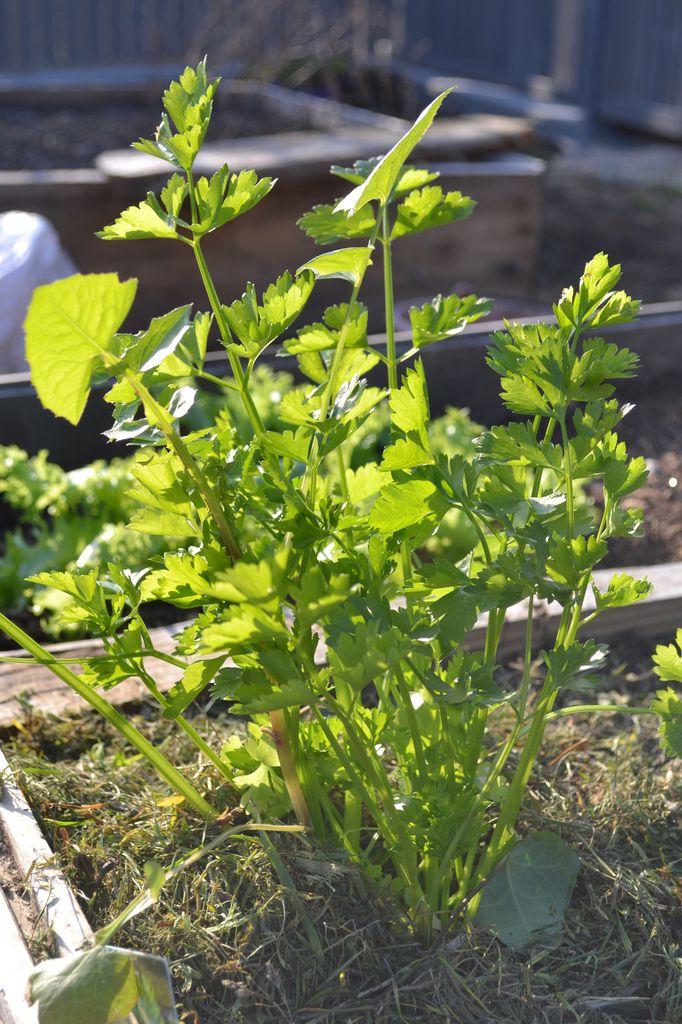 Premières plantations de légumes (salade, céleri): et hier, les pommes de terre.