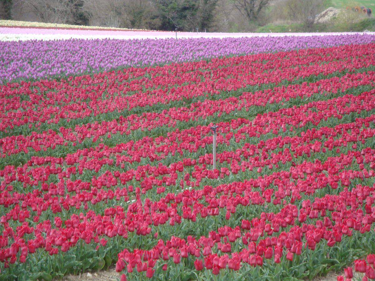 Champs de tulipes à Niozelles