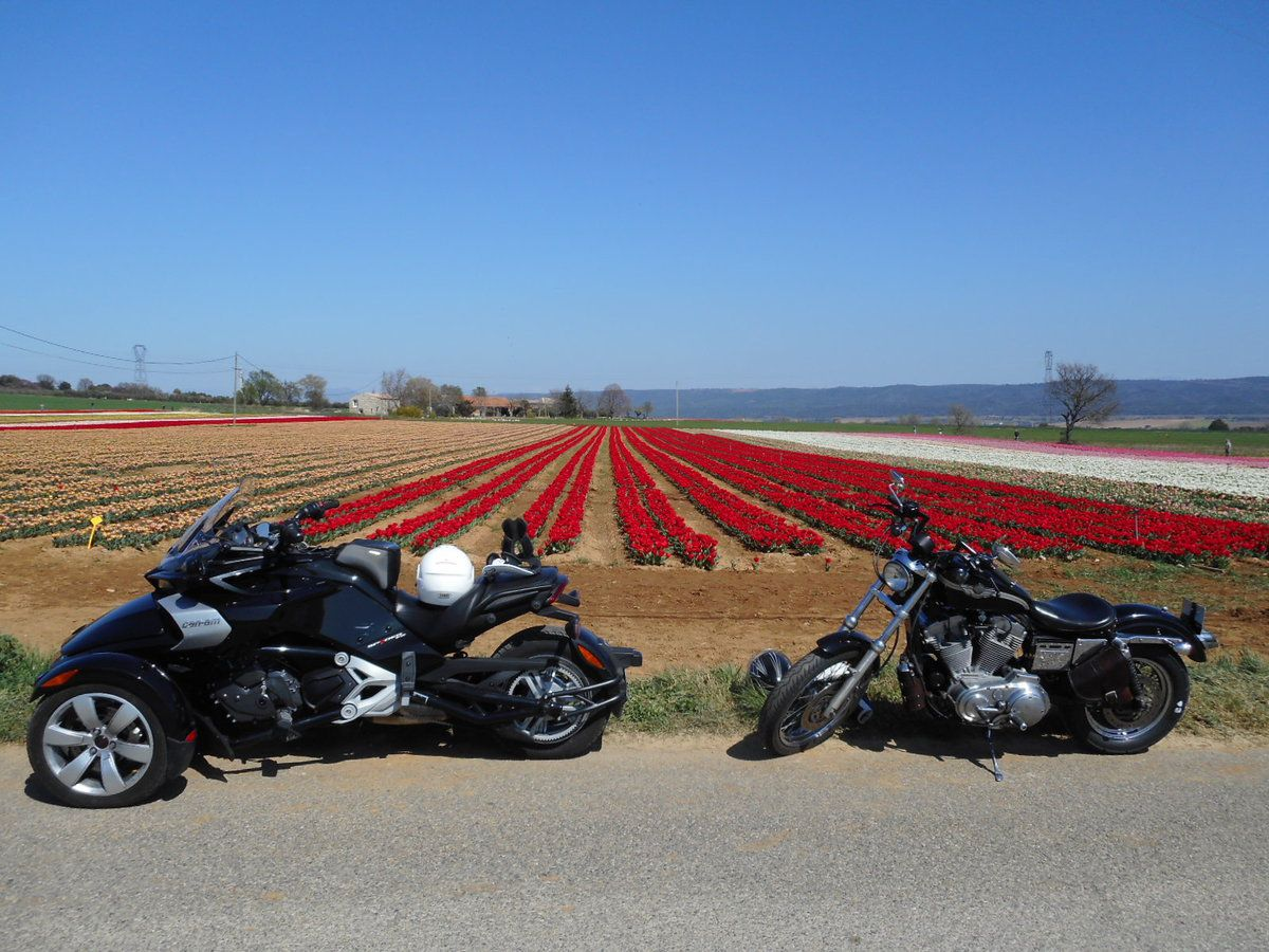 Champs de tulipes à Lurs