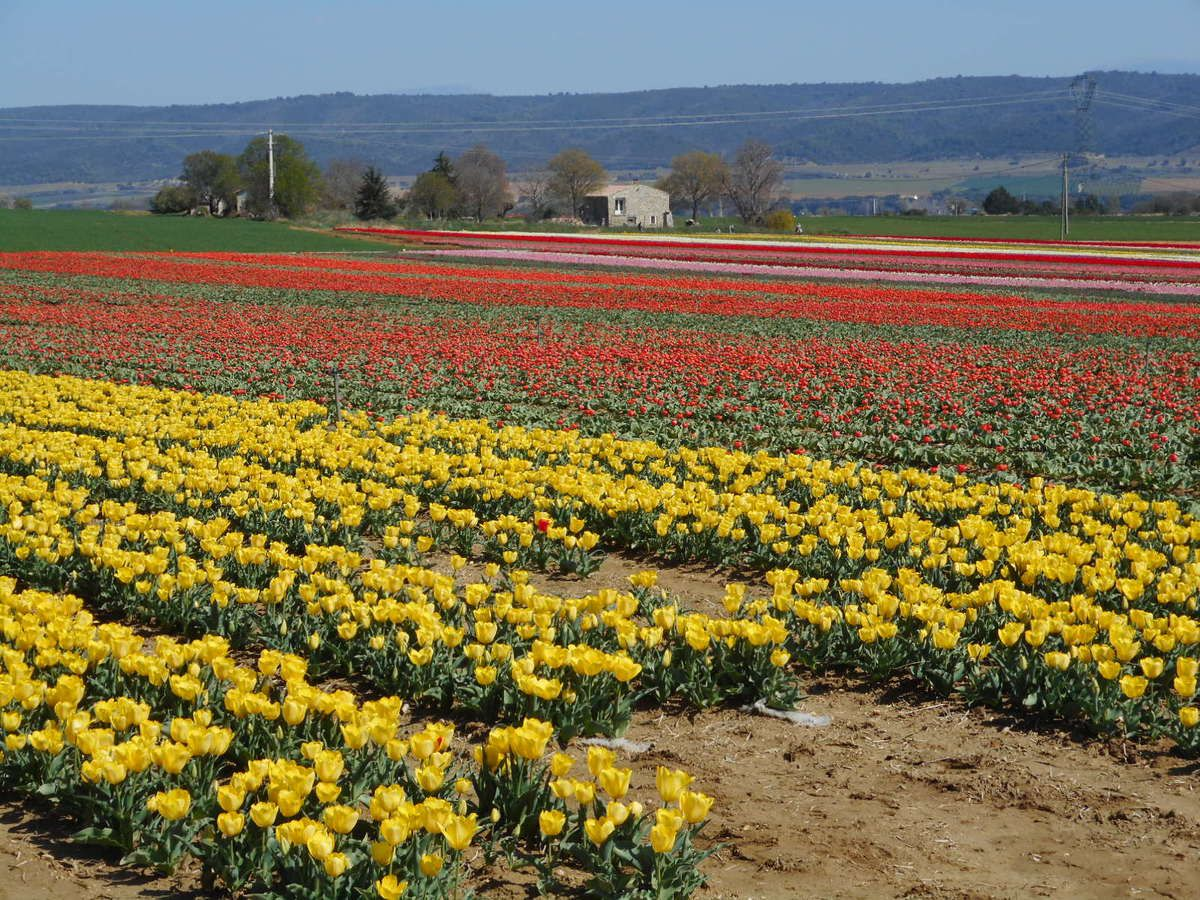 Champs de tulipes à Lurs
