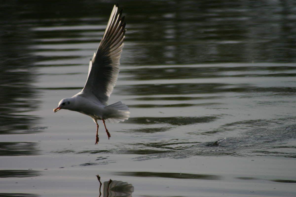 Mouette à l'aterrissage sur  un étang à Pont de l'Arche Normandie