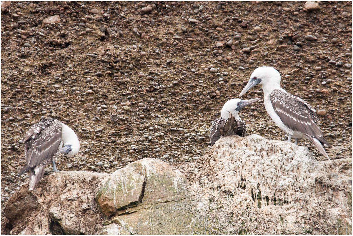 Les îles Ballestas au Pérou