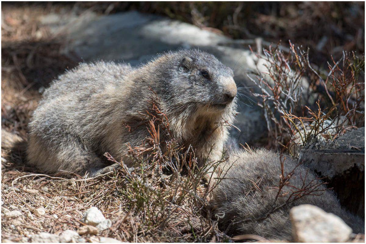 Marmottes pyrénéennes