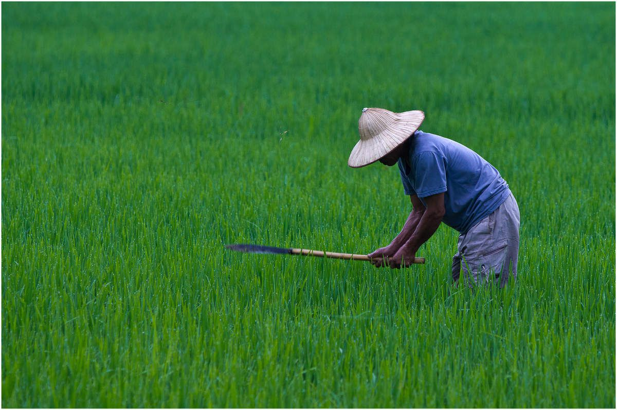 Vietnam, les rizières