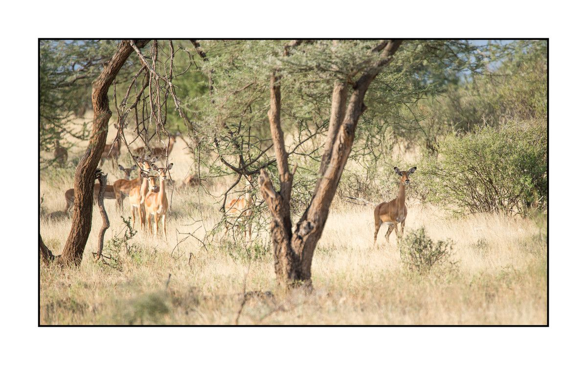 2016 Kénya : Les impalas