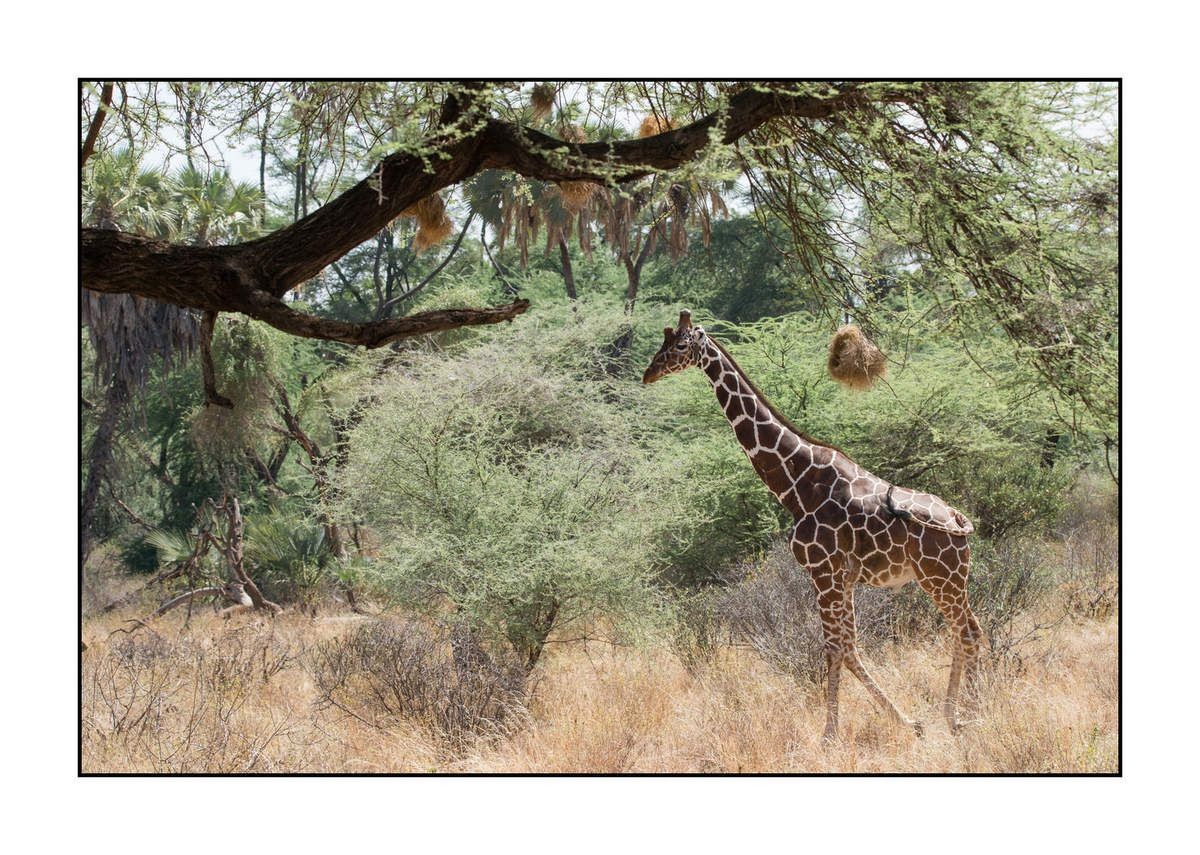 Girafes réticulées de Samburu