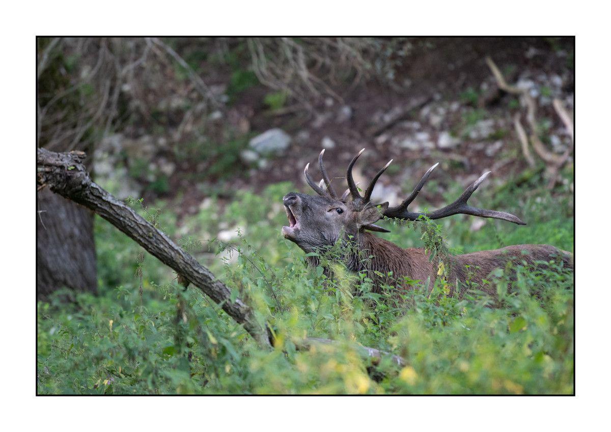 2019 Le parc des Abruzzes partie 3 : le Brame du cerf