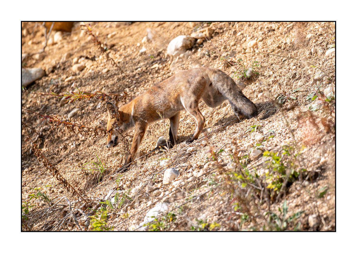 2019 Le parc des Abruzzes partie 1 : Le renard