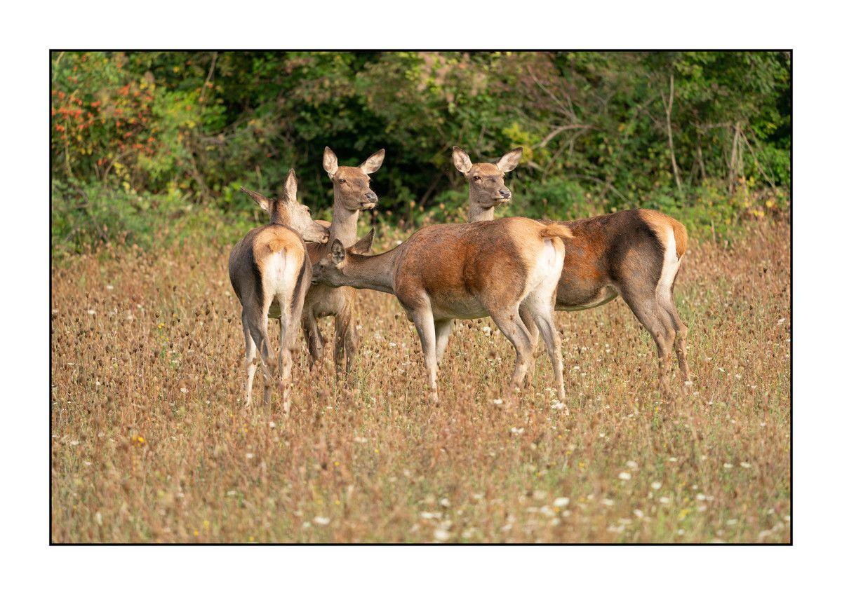 2019 Le parc des Abruzzes partie 4 : Les biches