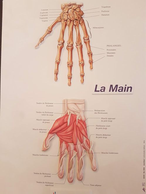 #Anatomie #main #pathologie #Hand