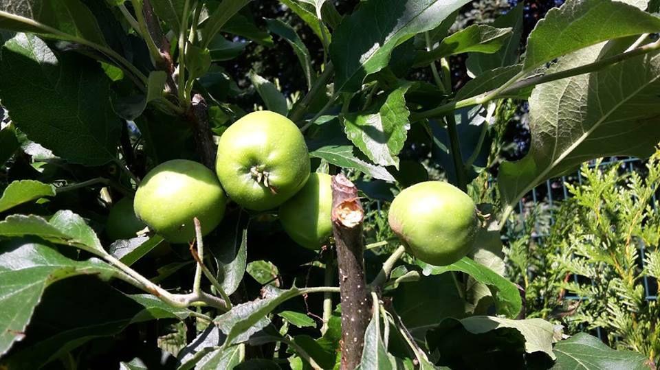 Humour instituteur: Le vol de pommes