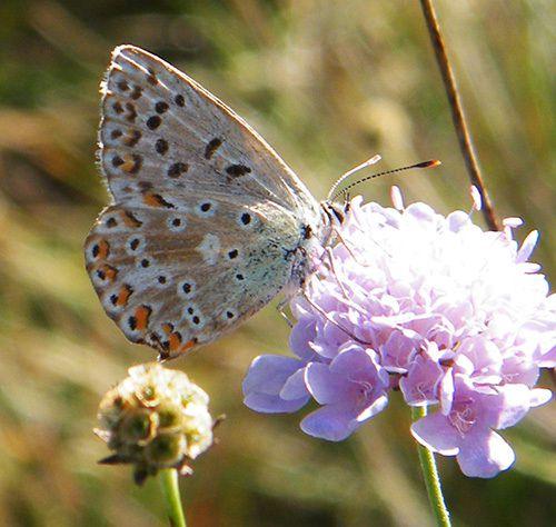 """L'argus bleu céleste """"Lyssandra bellargus"""" vu de dessous sur une scabieuse - 07.09 - Lubéron (04)"""