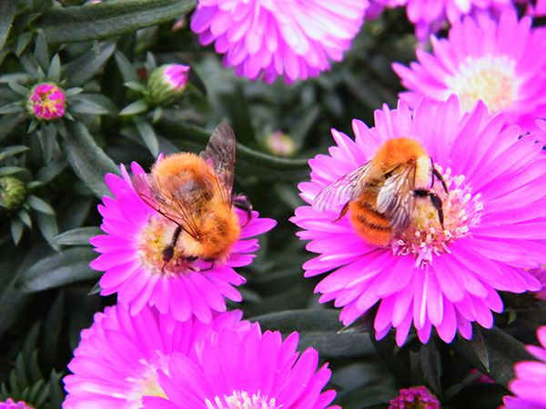 Bombus agrorum sur asters