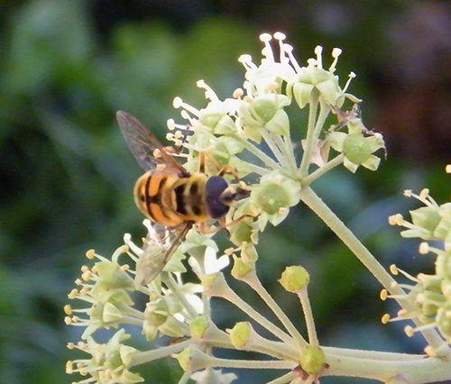 Les fleurs du lierre avec une éristale des fleurs (eristalis florea)  en visite. Ses baies en novembre. et un bombyle hottentotta. Eristale gluante.