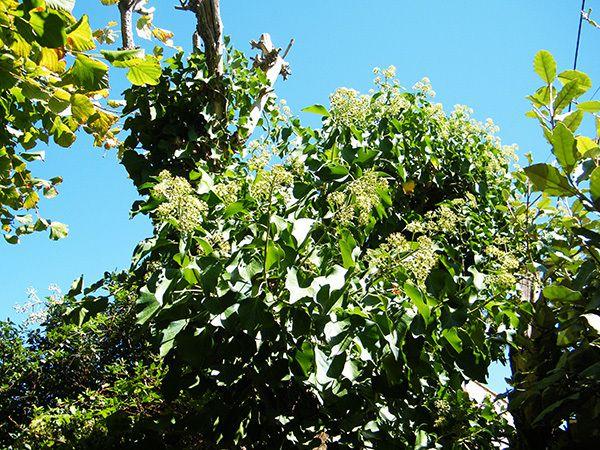Le lierre en fleurs sur le tronc mort du sureau. (31.08.2014). Fleurs, feuille et baies pour les oiseaux !