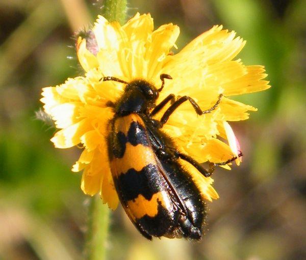 """Le """"Clairon des abeilles"""" (Trichodes apiarus) - Larve de phytonome Hypera postica, ravageur de la luzerne - 4 mm - 22.03.2017 -"""