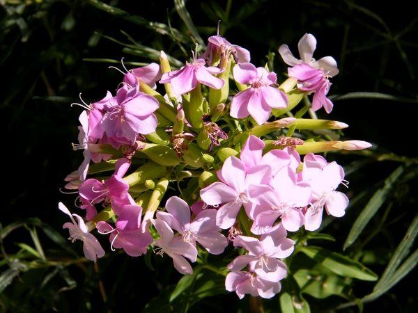 La saponaire officinale (Saponaria officinalis) est une plante herbacée vivace. Jadis remplacée le savon et la lessive !