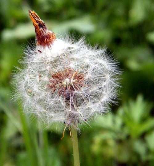 Pissenlit en graines. Il va semer au vent - Euphorbe characias.