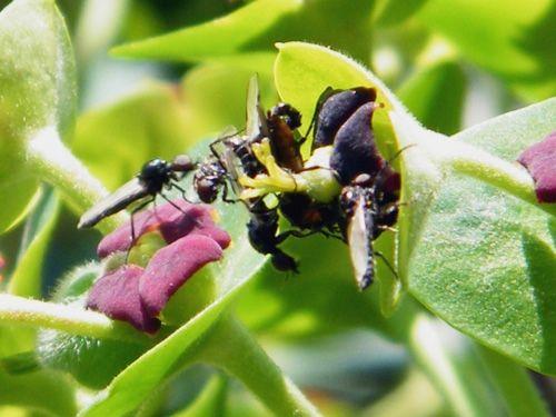 Les diptères DILOPHUS FEBRILIS ( 5 mm ) sur fleur d'euphorbe characias - Mars - Nom binominal. Dilophus febrilis (Linnaeus, 1758). Dilophus febrilis est une espèce d'insectes diptères nématocères de la famille des Bibionidae.