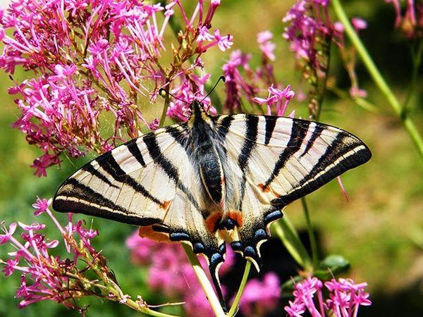 Papilio machaon, beau spécimen de 9 cm d'envergure (mesuré, celui du haut), sur centranthe rouge.