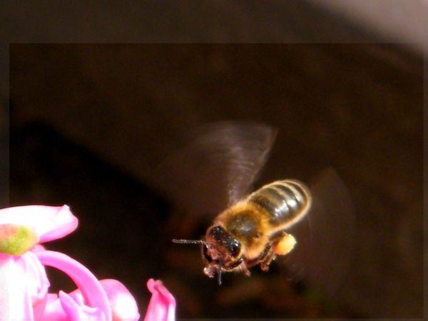 Une abeille en vol avec sa récolte devant un jacinthe. 14.03.2016. Battements d'ailes 190/200 coups seconde.
