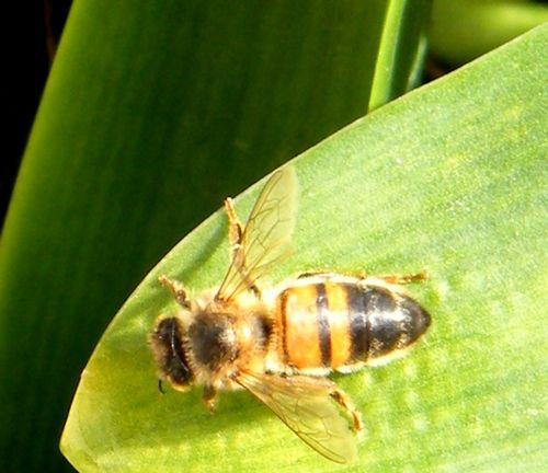 """Une variété d'abeille """"Apis mellifica""""-""""ligustica"""" sous réserve - 16.03.2016 jardin urbain."""