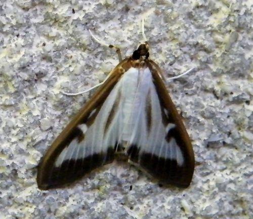 """La Pyrale du buis """"Cydalima perspectalis"""" - Crambidae - mai - Très néfaste pour le buis. Ici la forme normale,il existe une forme noire plus rare."""