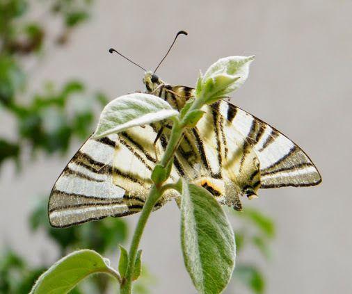 """L'aventure d'un papillon flambé """"Iphiclides poladirius"""""""