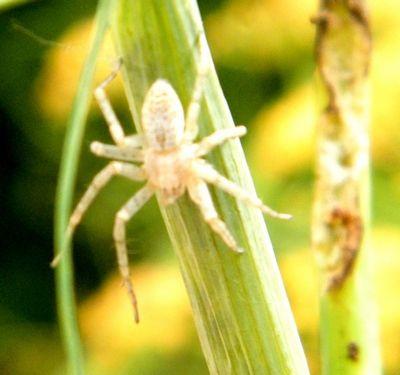 """Araignée """"Philodromus sp."""" sur aneth - 5 mm - Elle mord la chenille et la vide de sa substance - juin -"""