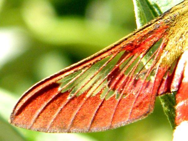 """L'aile en parti translucide , au contraire du """"Moro-sphinx"""" chez qui les ailes sont opaques."""