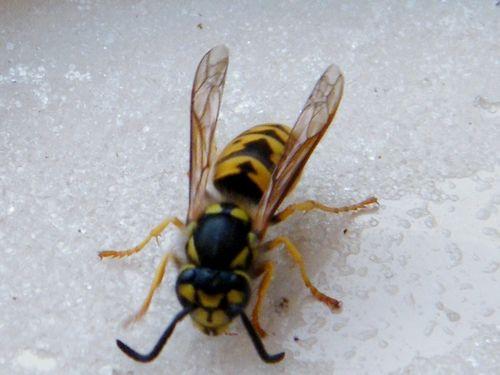 VESPULA GERMANICA femelle. Grosseur d'une abeille. Construit son nid sous terre ou dans un lieu sombre et dissimulé en papier solide. 01.11.2016.