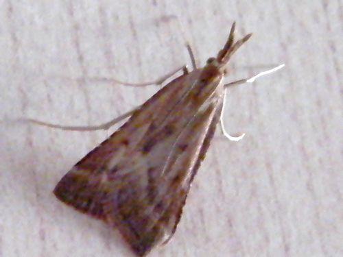"""""""Synaphe punctalis"""" - Clédéobie étroite - est une espèce de lépidoptère de la famille des Pyralidae que l'on trouve en Europe.  Il a une envergure de 22 à 27 mm  Il vole de juin à août selon les endroits et est attiré par la lumière.  Sa larve se nourrit sur les mousses."""