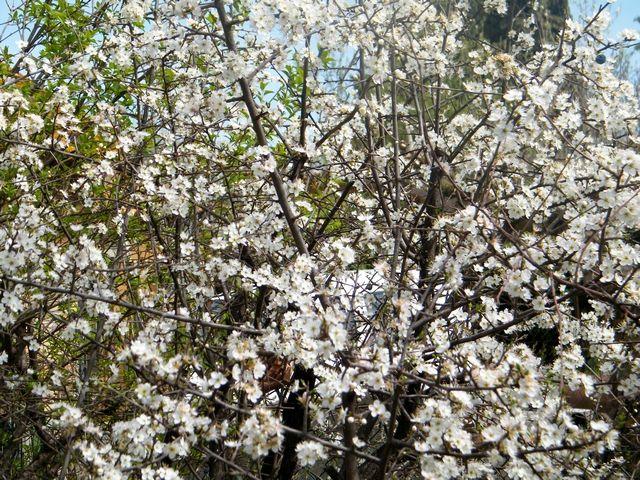 """Le prunellier épineux  """"Prunus spinosa"""" - fleurit en mars - Les fleurs viennent avant les feuilles et les baies l'été."""