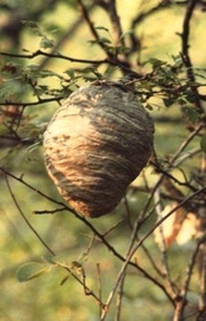 Un nid de guêpes sylvestres dans la forêt. Luberon (04)